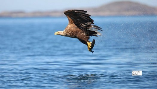 White Tailed Eagles on Lough Derg