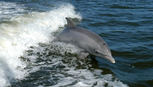 Dolphin Watching in the Shannon Estuary